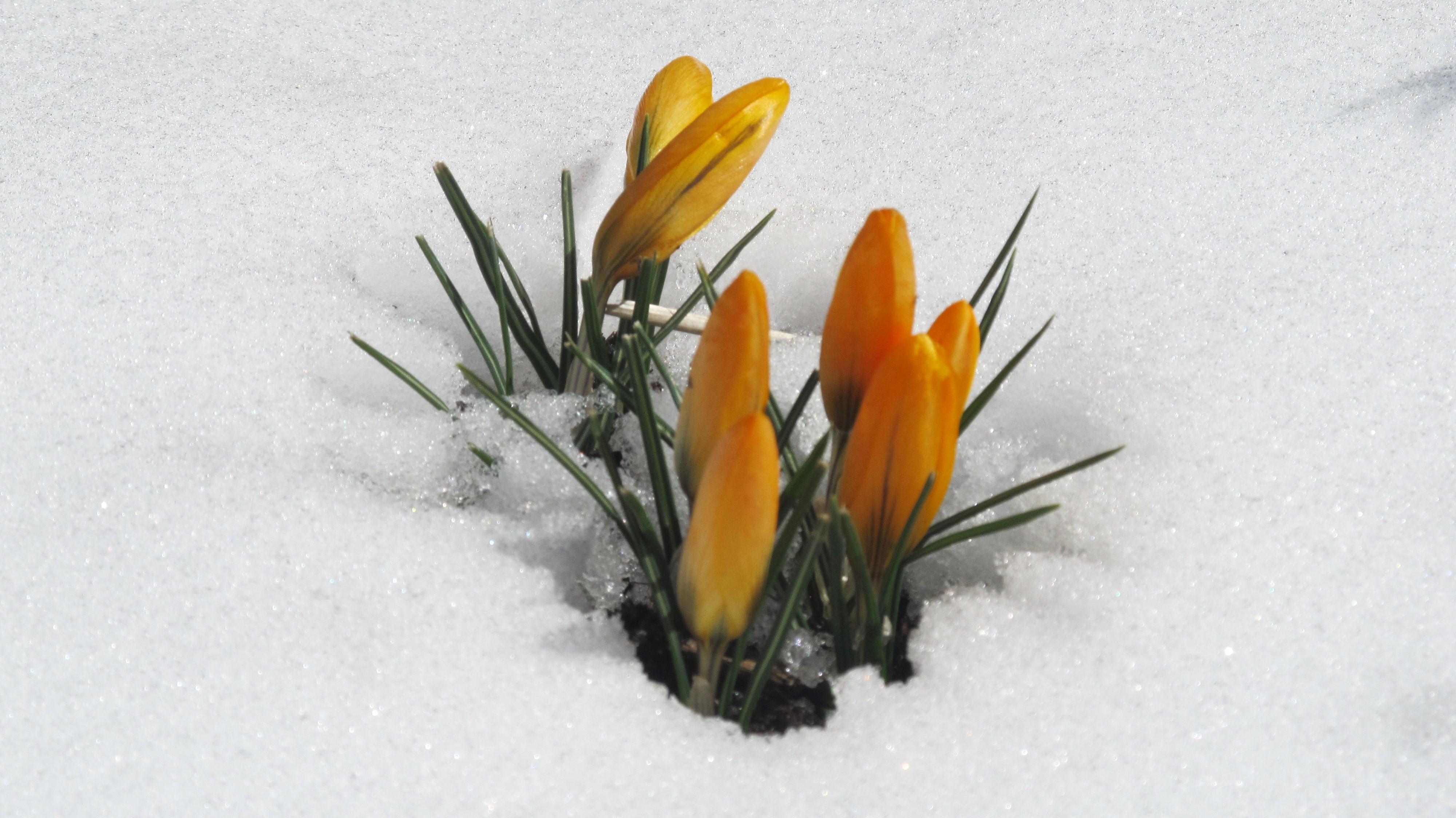 Crocus in snow, yellow